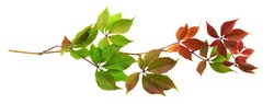 Parthenocissus twig with colorful autumn leaves isolated on white (Wild grapes)