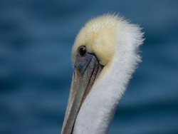 Partial head view of a brown pelican with a blue bay background.