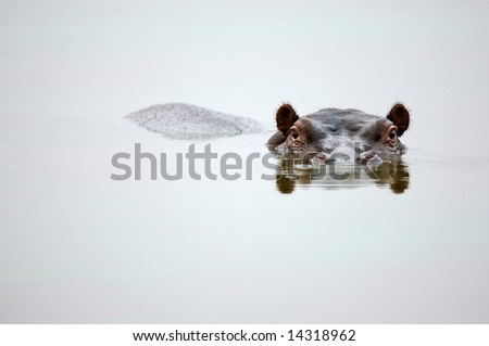 Partial Hippo face showing above smooth water; Hippopotamus amphibius; South Africa