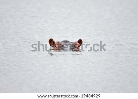 Partial hippo face showing above water; Hippopotamus amphibius; South Africa