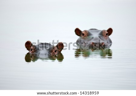 Partial Hippo faces showing above smooth water; Hippopotamus amphibius; South Africa