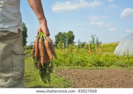 Partial image of a male  farmer / gardener collecting carrot harvest on a summers day