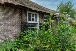 Partial view of dilapidated and abandoned farmhouse with thatched roof in countryside the Netherlands with weeds, grasses and Giant Hogweed growing in front of window with wooden shutter and door