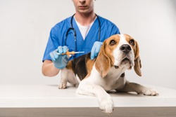 partial view of veterinarian in blue coat holding syringe for microchipping beagle dog