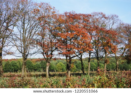 partly already defoliated autumnal row of trees. In the background forest. In the blurred foreground, plants of a blueberry plantation
