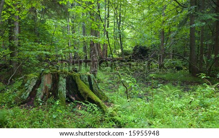 Partly decined stump in foreground at summer forest with lying broken tree in background