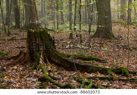Partly declined stump in front of deciduous stand in autumn