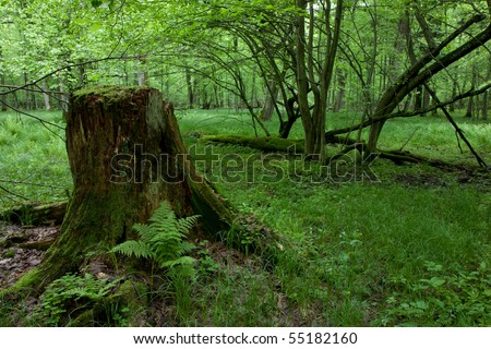Partly declined stump in front of deciduous trees inside deciduous springtime forest
