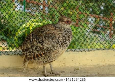 Partridge bird at Himalayan Bird Park, Shimla, India