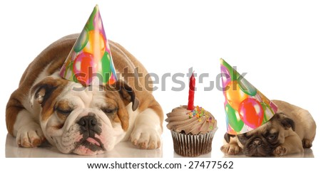 party animals - an english bulldog and a pug puppy laying beside a chocolate cupcake