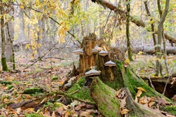 Party declined broken spruce tree stump with some polypore fungi, Bialowieza Forest, Poland, Europe