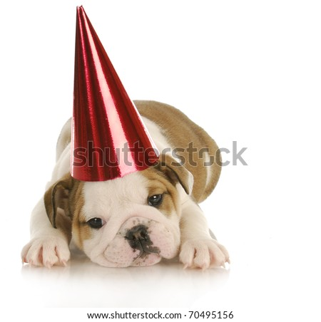 party dog - english bulldog puppy wearing red party hat with reflection on white background