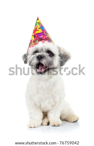 party puppy bichon havanese sitting on a white background