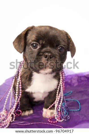 Party puppy with beads on purple
