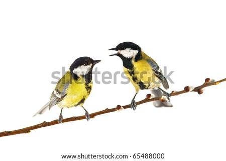 parus on twig isolated on white
