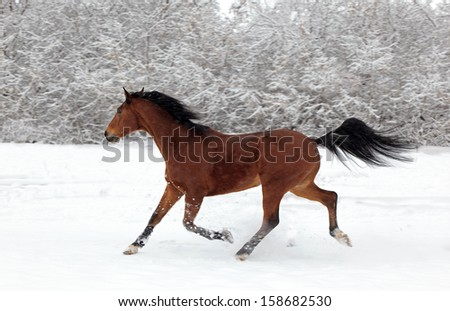 Paso Fino horse galloping in snow in the evening snowfall