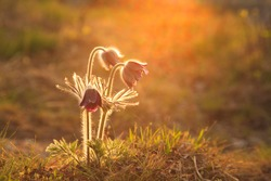 Pasque Flower blooming on spring meadow at the sunset