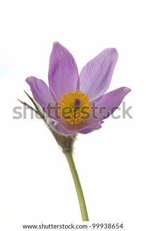 Pasque Flower isolated