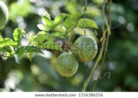 Passiflora edulis Vines with small thorns, single leaves, rounded, pointed, pointed, three-pointed, white flowers, streaked with purple stripes, green, round, when the yellow is pale green. #1556386556