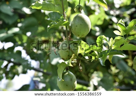 Passiflora edulis Vines with small thorns, single leaves, rounded, pointed, pointed, three-pointed, white flowers, streaked with purple stripes, green, round, when the yellow is pale green. #1556386559