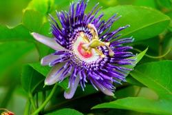 Passiflora flower Kaurav  and pandavas flower, city:Tirupati state:Andhrapradesh, country:India