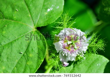 Passiflora foetida (Fetid passionflower, Scarlett Fruit, Stinking) ;  Showing part of green leaf, contrasted with a large white purple flowering with decorated by sepal nets. Reflex to sun shining. #769312642