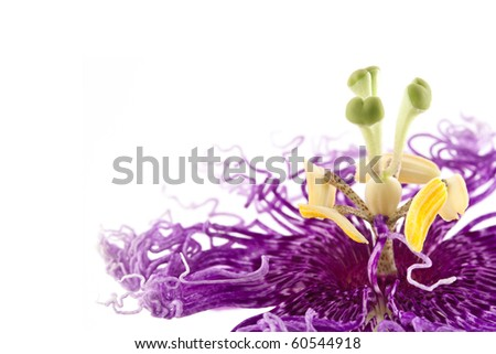 passiflora isolated on white