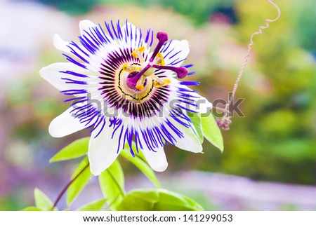 Passiflora known also as the passion flowers or passion vines #141299053