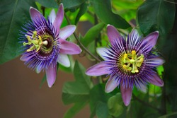 Passiflora plant with flowers, climbing plant