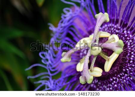 Passion Flower #148173230
