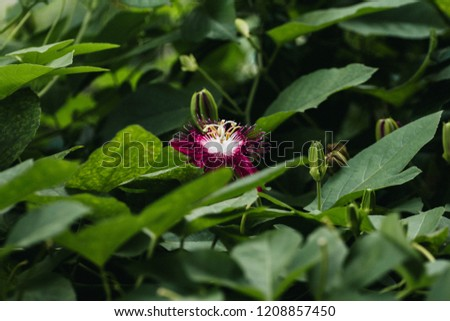 Passion flower with green leafs #1208857450
