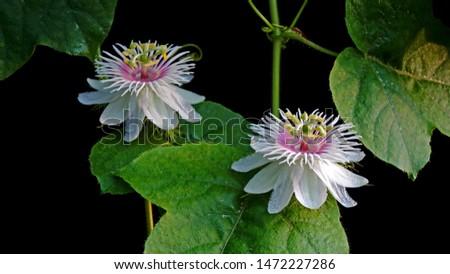 Passion Flowers : Fetid passionflower (Passiflora foetida) or Scarletfruit passionflower, wild maracuja, bush passion fruit, marya-marya, or Stinking Passion flower. Selective focus.