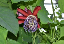 passion fruit flower ,beautiful red and violet passion fluit flower amid green leaves