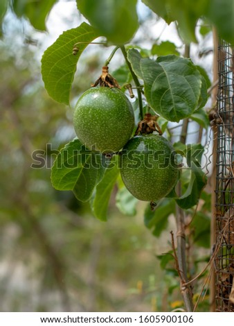 Passion fruit on the tree, soft selective focus on passion fruit. Passion fruit belongs to the genus Passiflora, originating from the tropics and sub-tropics in America.