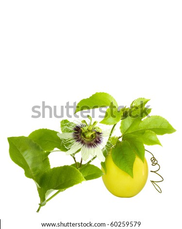 Passion Fruit on the vine with flower isolated on white with space for text
