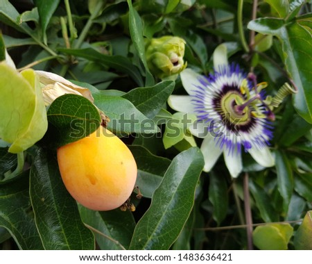 Passion fruit with passion flower. The passion fruit is originally from Brazil.