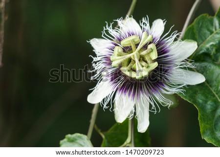 passionflower or Passiflora edulis or Common passionfruit, Jambhool fruit