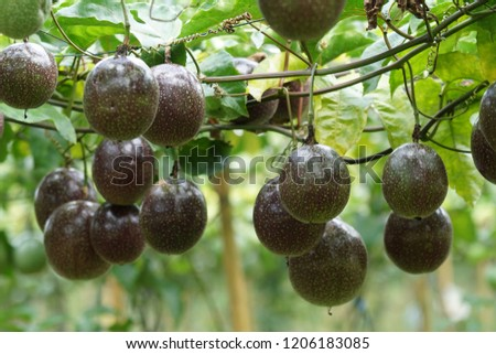 passionfruit or Passiflora edulis, Common passionfruit, Jambhool fruit, passion fruit