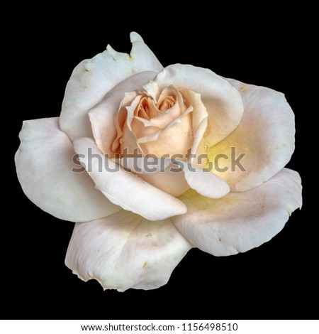 Pastel color fine art still life floral macro flower image of a single isolated orange white pink rose blossom with rain water drops, black background,detailed texture,vintage painting style