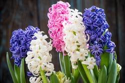 Pastel hyacinth flowers blooming at springtime.