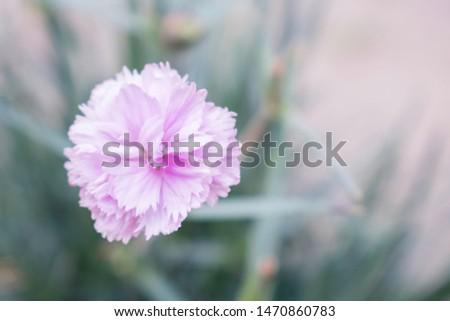 Pastel pink Carnation in the garden Stock fotó ©