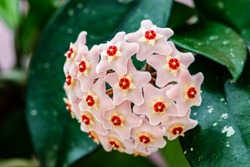Pastel pink Hoya carnosa flowers and green leaves. Pale pink Hoya carnosa lush inflorescence. Rose gold Porcelain flower or wax plant. Hoya Flower cluster. Wax Plant pink blooming flowers cluster