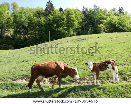 Pasture cow family in the alpine #1098634676