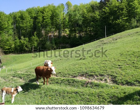 Pasture cow family in the alpine #1098634679