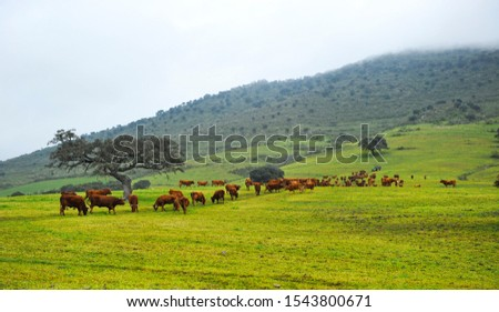 Pasture farm for breeding beef cattle near the village of Monesterio in the province of Badajoz, winter in Extremadura, Spain