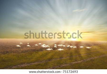 Pasturing geese on a misty sunrise morning field
