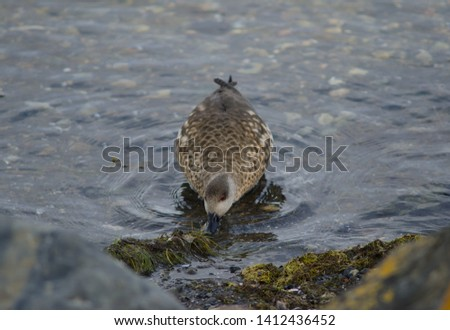 Patagonian crested duck (Lophonetta specularioides specularioides) feeding. Puerto Natales. Ultima Esperanza Province. Magallanes and Chilean Antarctic Region. Chile. #1412436452