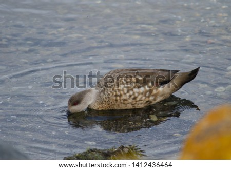 Patagonian crested duck (Lophonetta specularioides specularioides) feeding. Puerto Natales. Ultima Esperanza Province. Magallanes and Chilean Antarctic Region. Chile. #1412436464