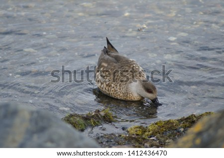 Patagonian crested duck (Lophonetta specularioides specularioides) feeding. Puerto Natales. Ultima Esperanza Province. Magallanes and Chilean Antarctic Region. Chile. #1412436470