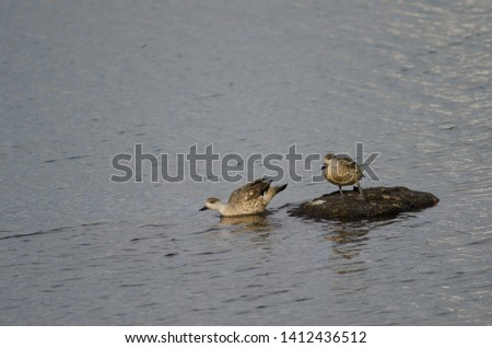 Patagonian crested ducks (Lophonetta specularioides specularioides). Puerto Natales. Ultima Esperanza Province. Magallanes and Chilean Antarctic Region. Chile. #1412436512